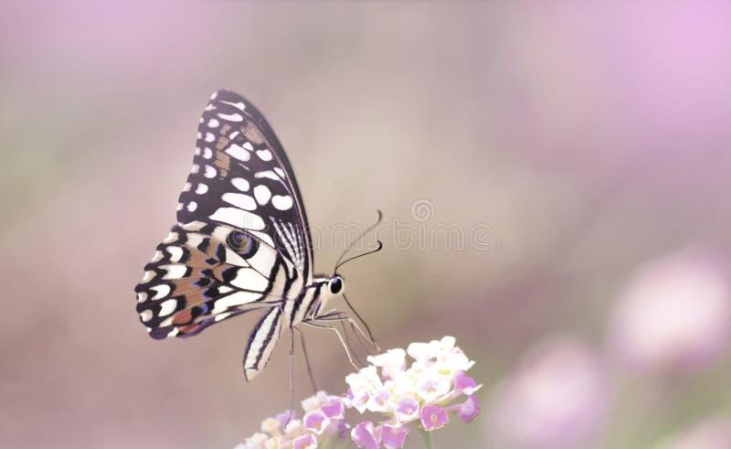 Изумляя красивая бабочка розовых пастельных цветков на розовой предпосылке сада идеальный конец макроса вверх стоковое изображение