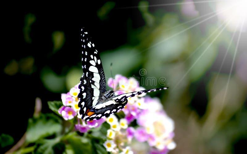Изумляя красивая бабочка свежих цветков на пинке предпосылки цветков идеальный конец макроса вверх стоковые изображения rf