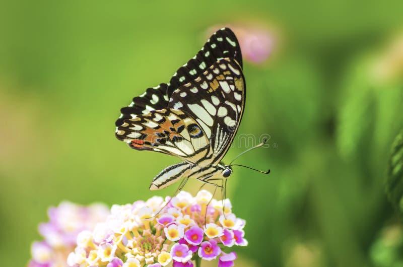 Изумляя красивая бабочка свежих цветков на пинке предпосылки цветков идеальный конец макроса вверх стоковая фотография
