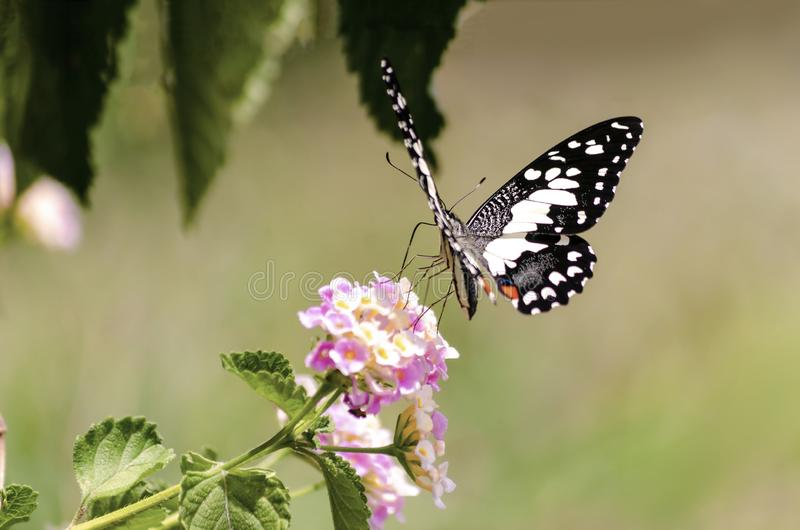 Изумляя красивая бабочка свежих цветков на пинке предпосылки цветков идеальный конец макроса вверх стоковое фото