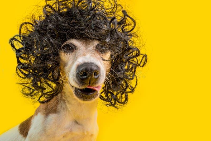 Изумляя смешной портрет собаки внутри frizzle черный парик стиля причесок Крутая самоуверенная дерзкая нахальная сторона Лизать л стоковые фотографии rf