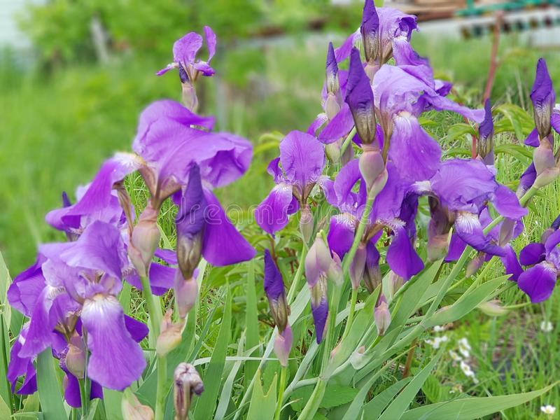 Изумляя цветене радужки в саде стоковые фотографии rf
