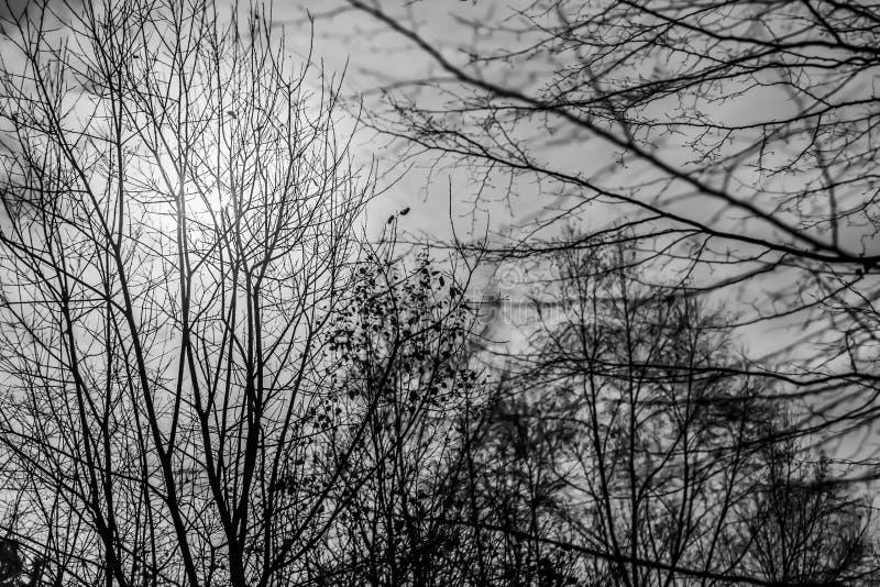 Изумляя черно-белое изображение луны среди ветвей деревьев стоковая фотография rf