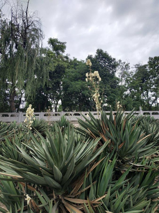 Изумрудно-зеленые колючие заводы с сериями белых цветков в середине стоковые фото