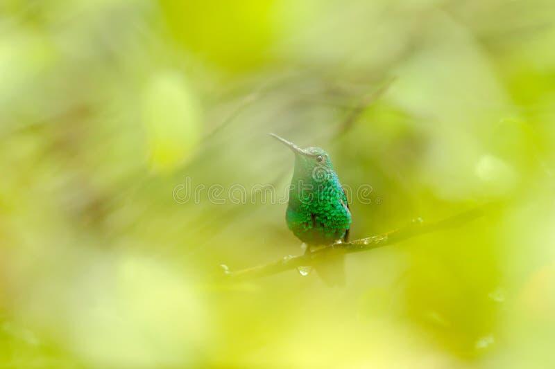 Изумрудный с синим хвостом, меллисугус хлористилбон, гуммингбёрд, спрятанный в тропическом лесу Колумбии, синий и зеленый глоссий стоковое фото