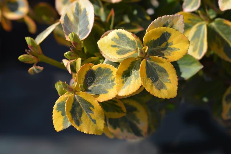Изумруд и золото Wintercreeper стоковые фотографии rf