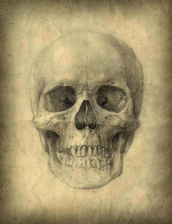 изучение черепа иллюстрация штока