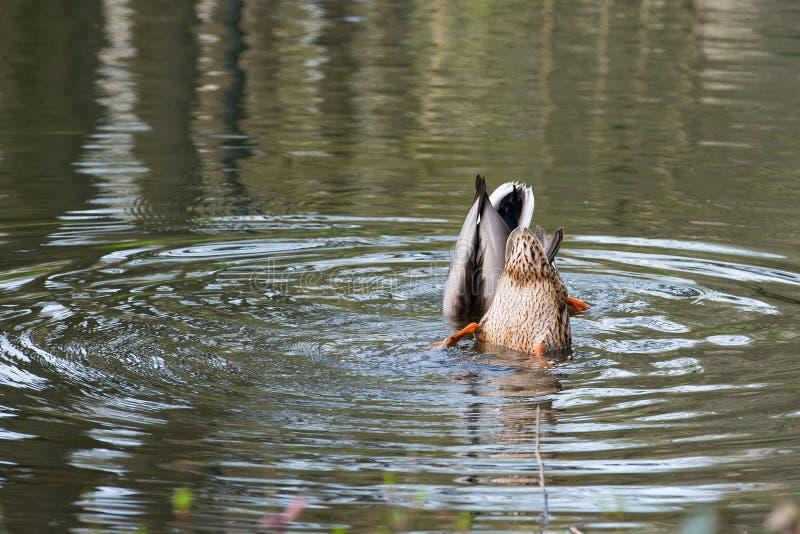 2 дикой утки в воде стоковая фотография rf