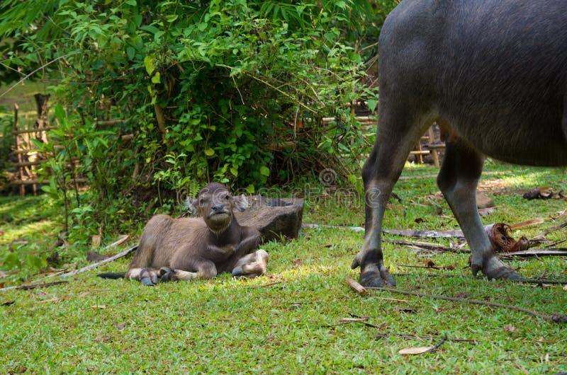 Икра индийского буйвола стоковое изображение