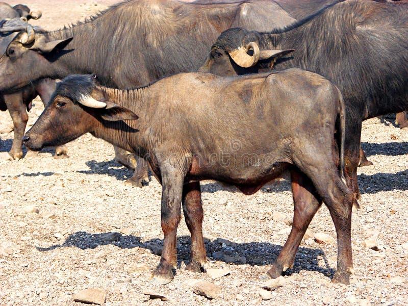 Икра отечественного азиатского индийского буйвола стоковая фотография rf