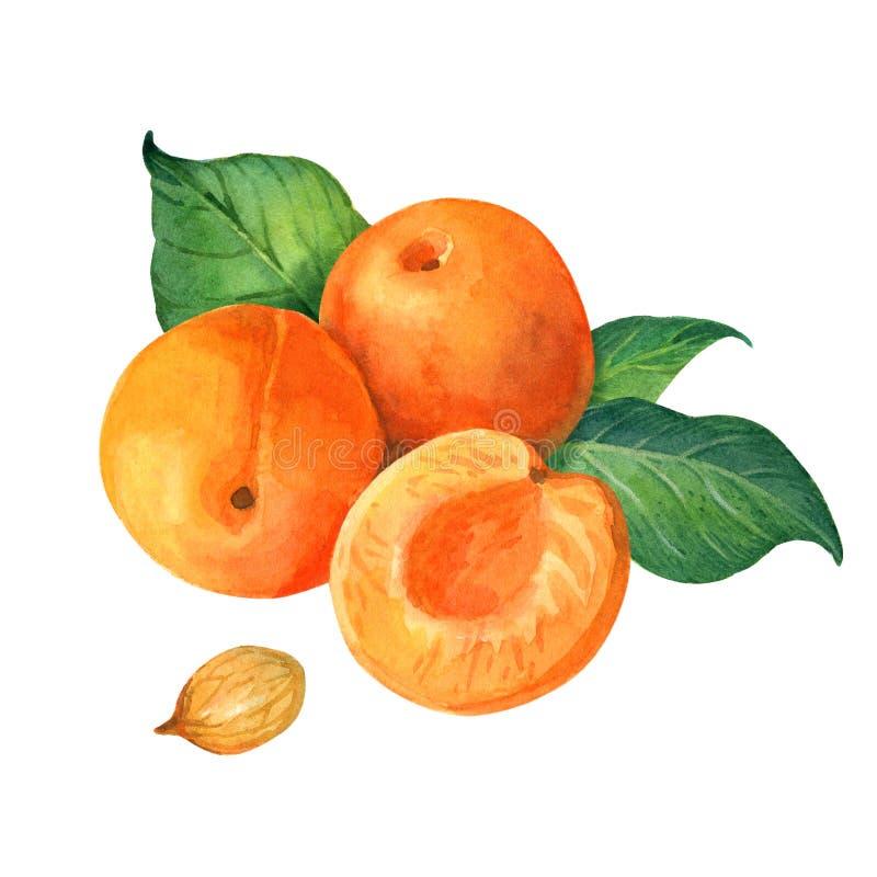 Иллюстрация акварели абрикоса стоковое изображение rf