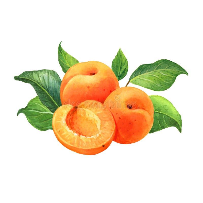 Иллюстрация акварели абрикоса стоковое фото rf