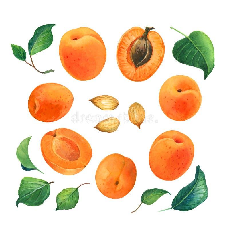 Иллюстрация акварели абрикоса стоковое изображение