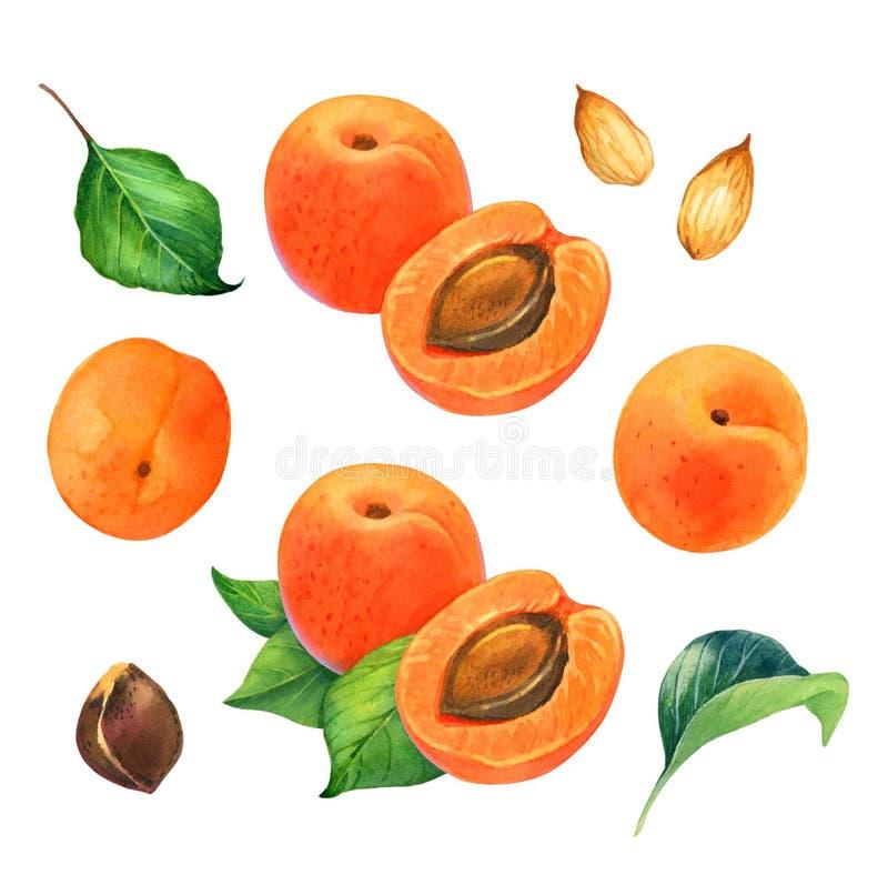 Иллюстрация акварели абрикоса стоковая фотография