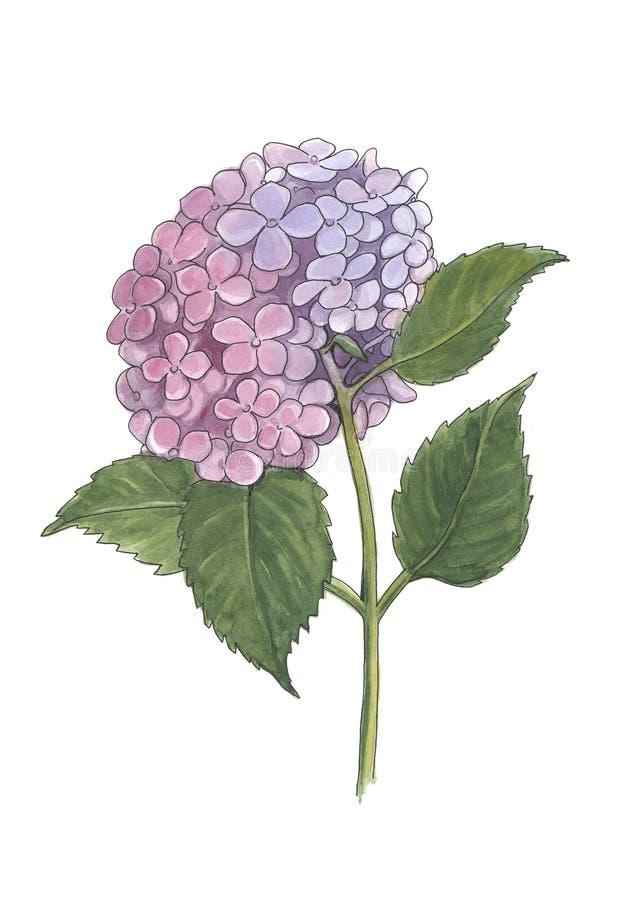 Иллюстрация акварели ботаническая ветви гортензии иллюстрация штока