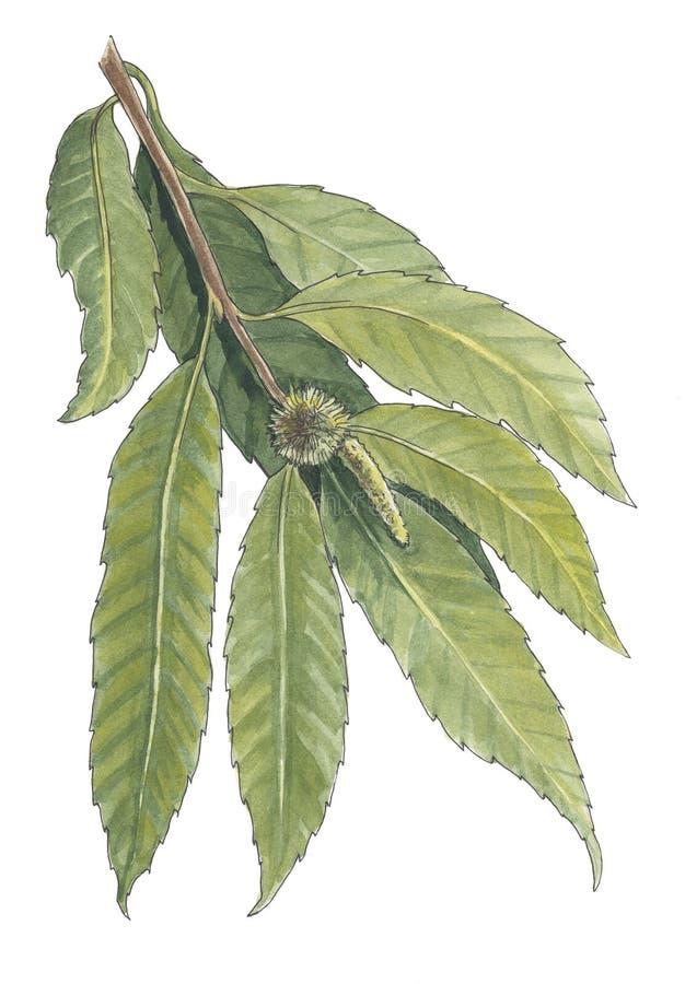 Иллюстрация акварели ботаническая ветви каштана стоковые фото