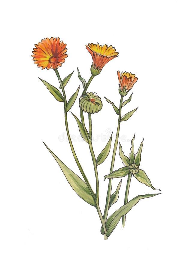 Иллюстрация акварели ботаническая цветков calendula иллюстрация штока