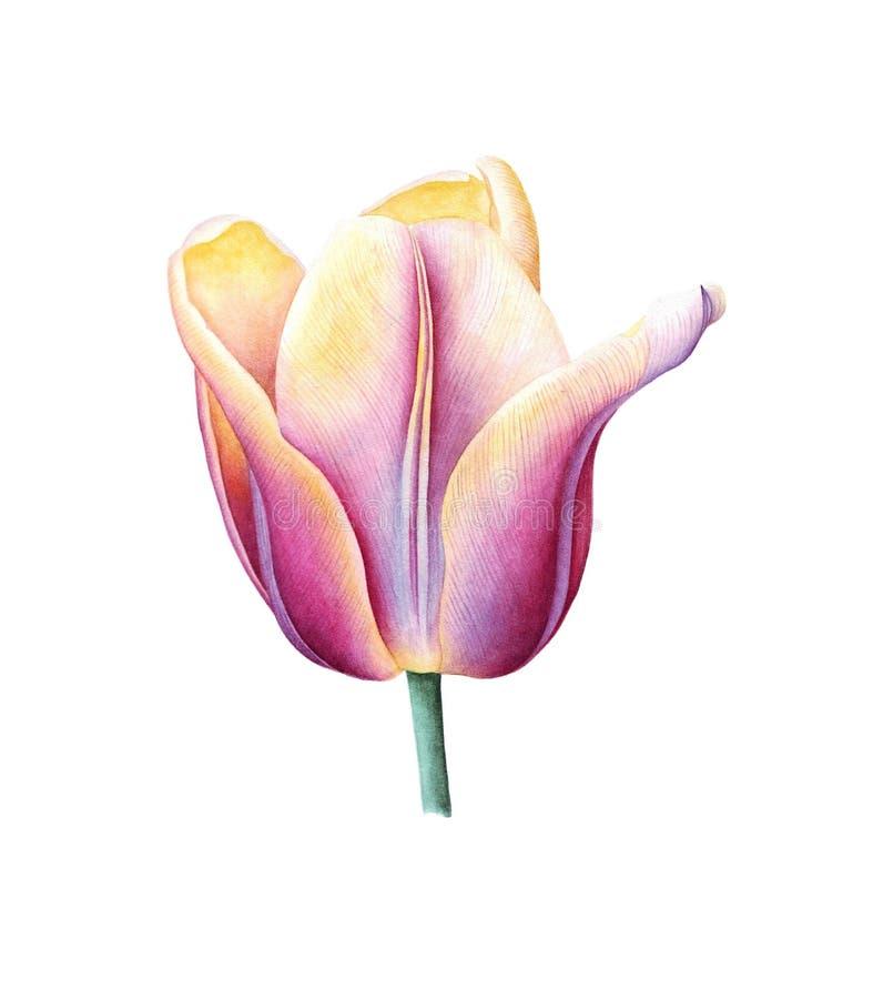 Иллюстрация акварели с фиолетовым желтым тюльпаном стоковое изображение