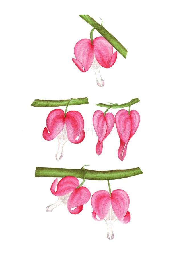 Иллюстрация акварели с dicentra стоковые изображения