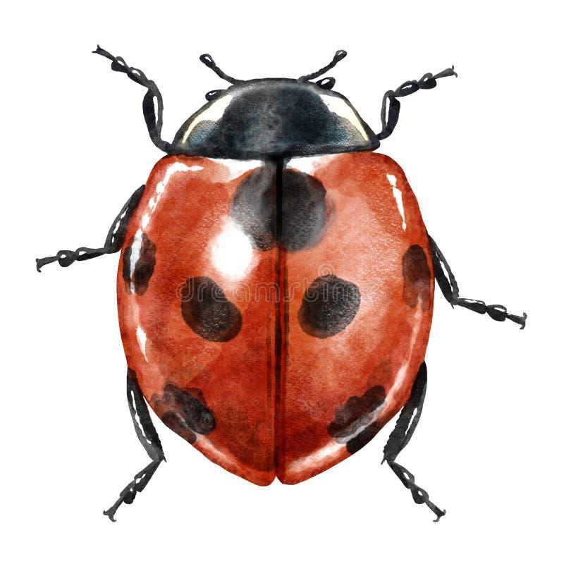 Иллюстрация акварели Ladybug, изолированная на белизне бесплатная иллюстрация