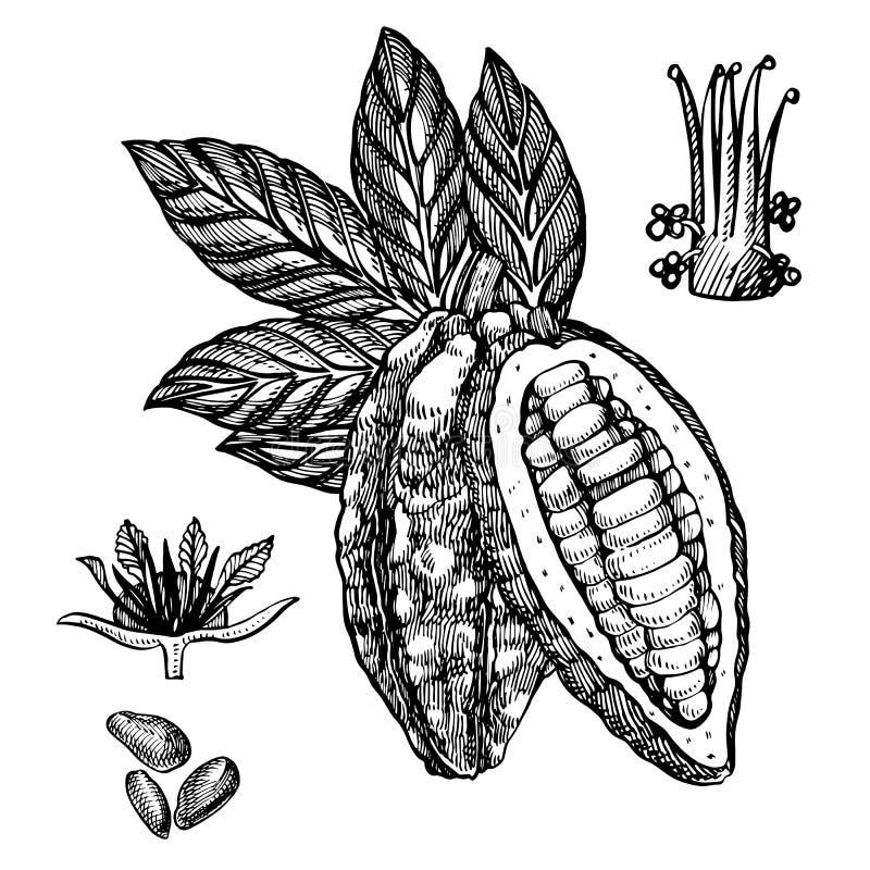 Иллюстрация вектора бобов кака шоколада Выгравированная иллюстрация стиля Сделанные эскиз к нарисованные рукой фасоли какао, дере иллюстрация штока