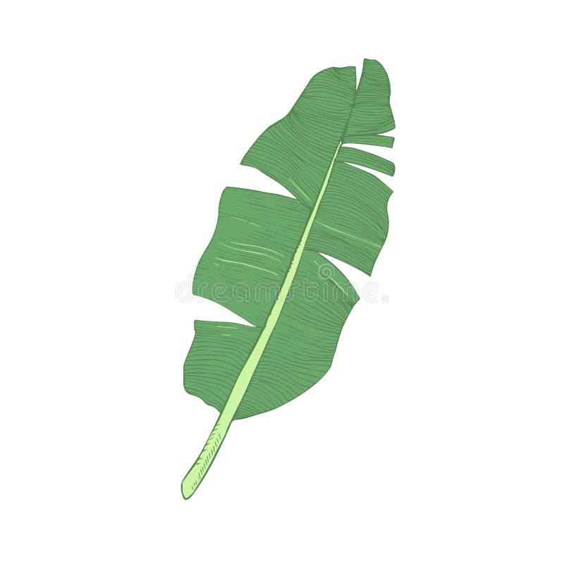 Иллюстрация вектора лист банана одиночная зеленая изолированная иллюстрация вектора