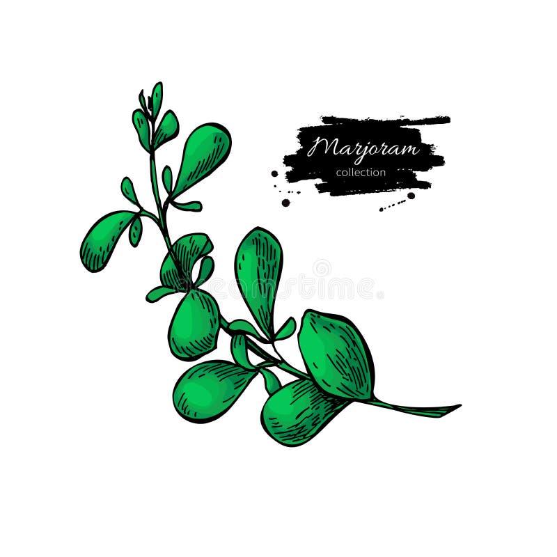 Иллюстрация вектора майорана нарисованная рукой Изолированный объект специи иллюстрация штока