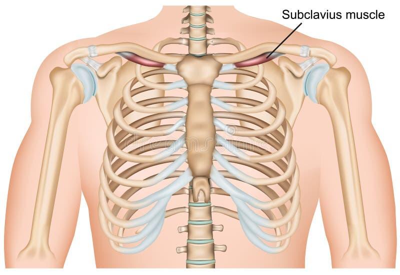 Иллюстрация вектора мышцы плеча Subclavius медицинская на белой предпосылке иллюстрация вектора