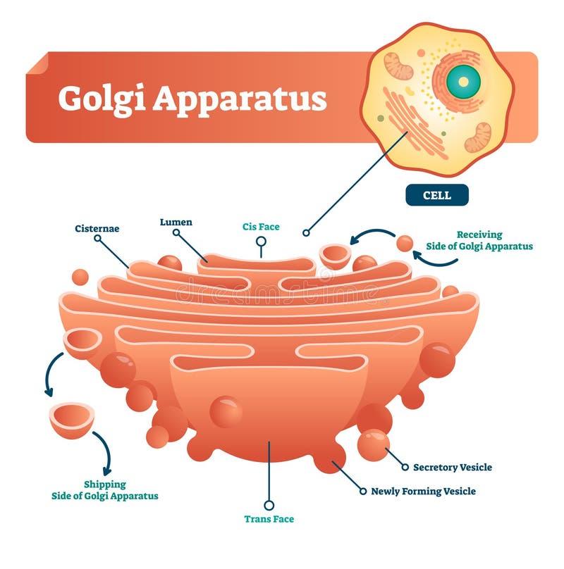 Иллюстрация вектора прибора Golgi Обозначенные микроскопические схема и диаграмма с cisternae, люмен, выделительный формируя vesi бесплатная иллюстрация