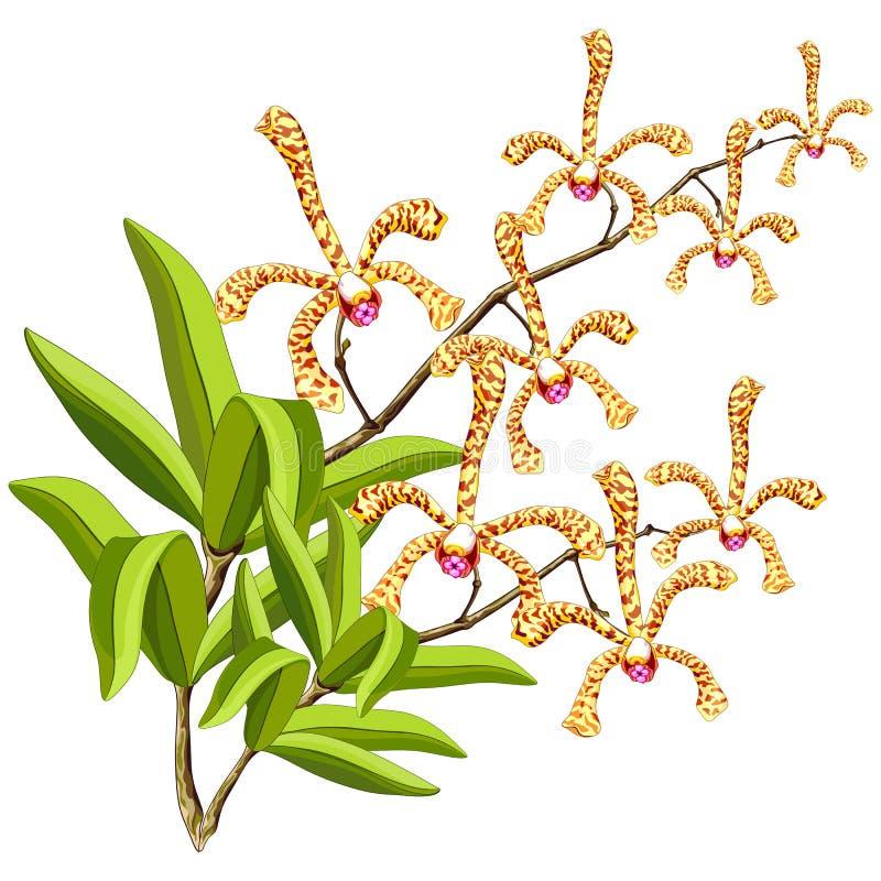 Иллюстрация вектора цветков орхидей скорпиона чувственная экзотическая иллюстрация штока