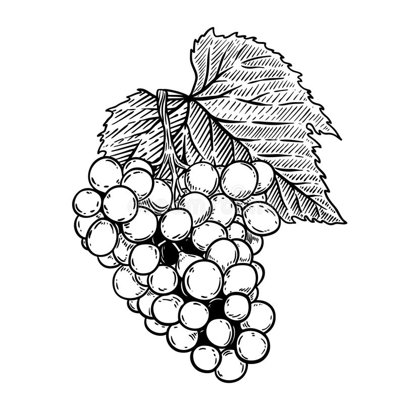 Иллюстрация виноградины в стиле гравировки изолированная на белой предпосылке иллюстрация штока