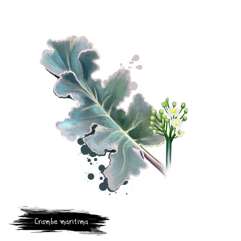 Иллюстрация искусства цифров maritima Crambe, листовой капусты моря, Crambe изолированного на белой предпосылке Органическая здор иллюстрация штока