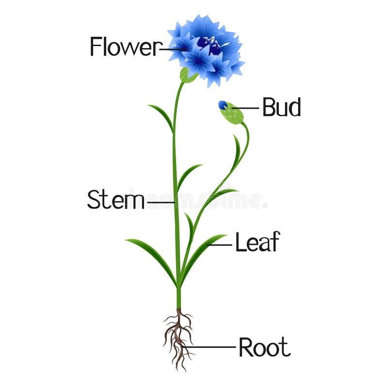 Иллюстрация показывает часть завода голубого cornflower бесплатная иллюстрация