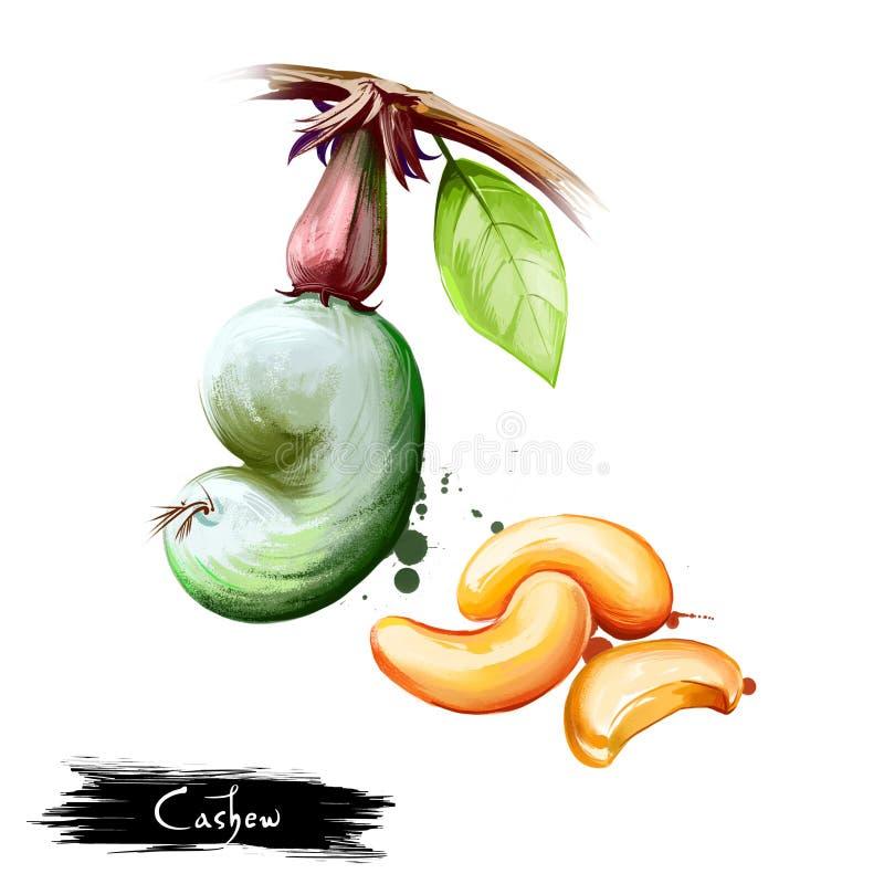 Иллюстрация руки вычерченная гайки анакардии или occidentale Anacardium изолированных на белой предпосылке Органическая здоровая  стоковые изображения