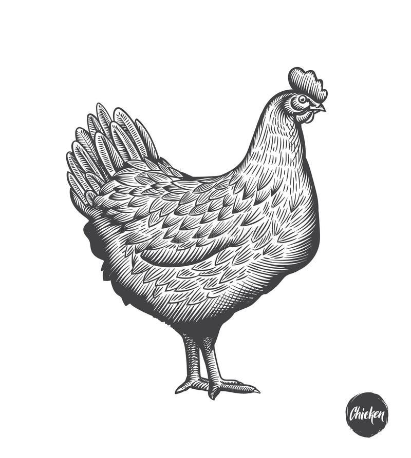Иллюстрация цыпленка нарисованная рукой в стиле гравировки или woodcut Элементы мяса курицы и продукции яичек винтажные Значки и иллюстрация вектора