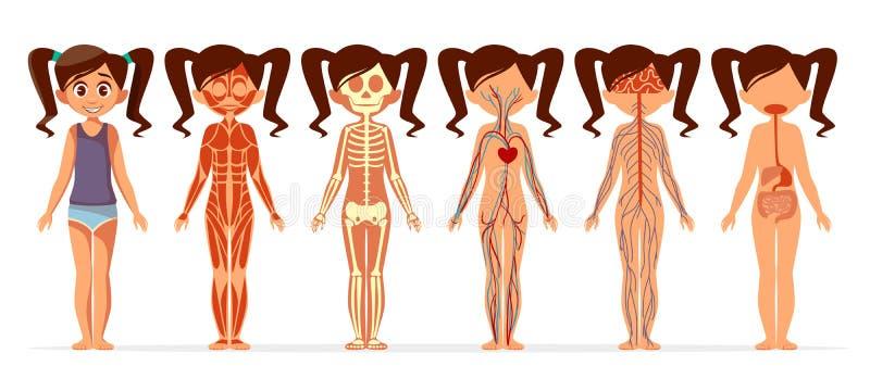Иллюстрация шаржа вектора анатомии тела девушки женской мышечной, скелетной, циркуляторной или слабонервной и пищеварительной сис иллюстрация штока