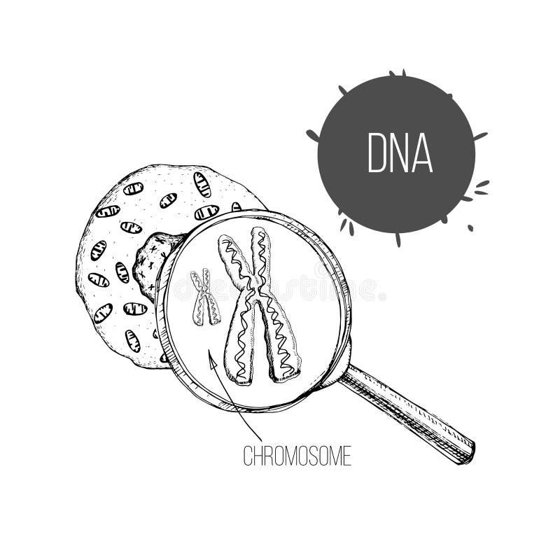 Иллюстрация эскиза руки вычерченного структура ДНК под увеличителем Рисуя генная инженерия Клеточная структура иллюстрация вектора