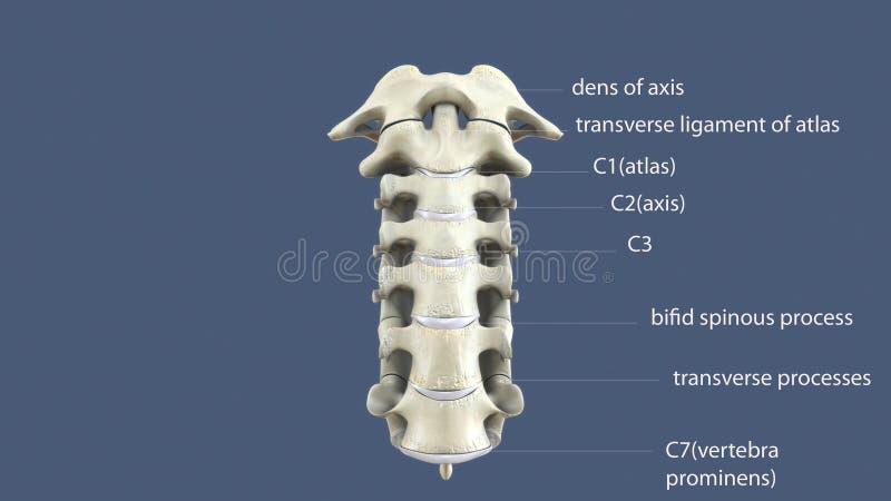 иллюстрация 3D цервикального позвоночника - части человеческого скелета иллюстрация штока