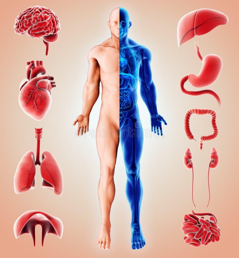иллюстрация 3D человеческое внутреннее органического иллюстрация штока