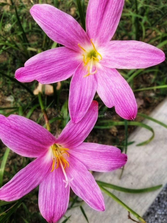 Имена цветков пинка взгляда крупного плана украшают дырочками лилии дождя стоковые фото
