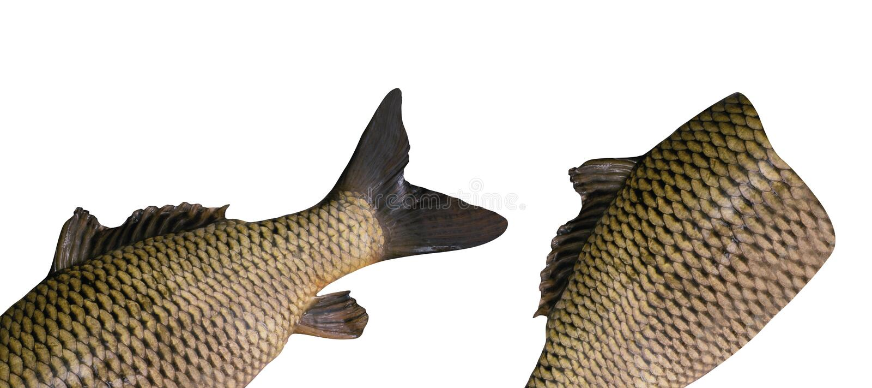 имеющимися белизна eps изолированная рыбами стоковая фотография rf
