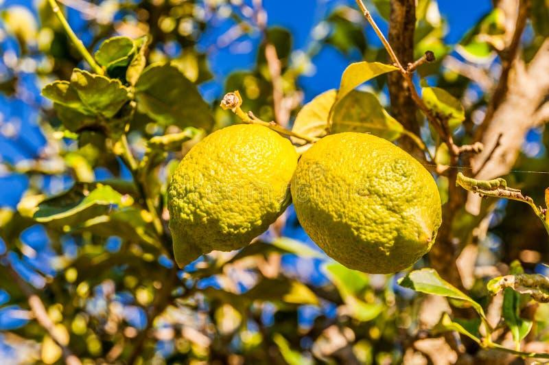 2 лимона на дереве лимона стоковое фото rf
