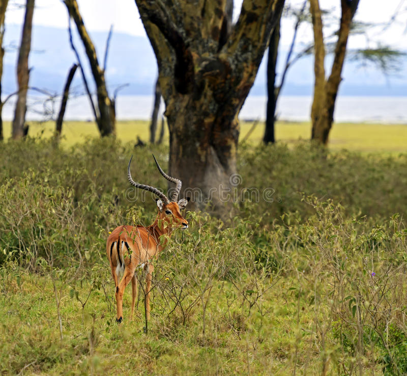 Download Импала газеля Afrikanskfy стоковое изображение. изображение насчитывающей опасно - 40582683