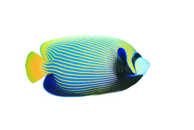 император angelfish стоковая фотография