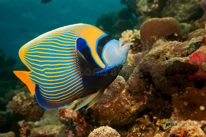 император angelfish стоковые изображения