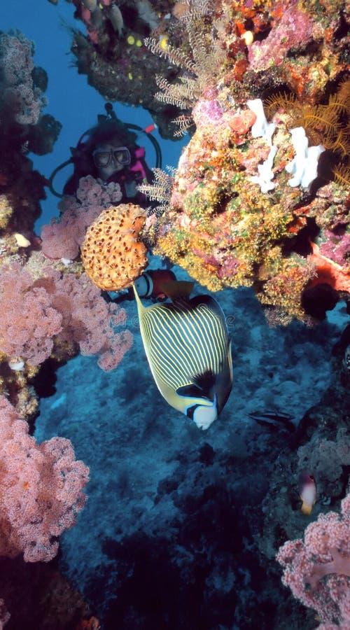 император angelfish стоковые фото
