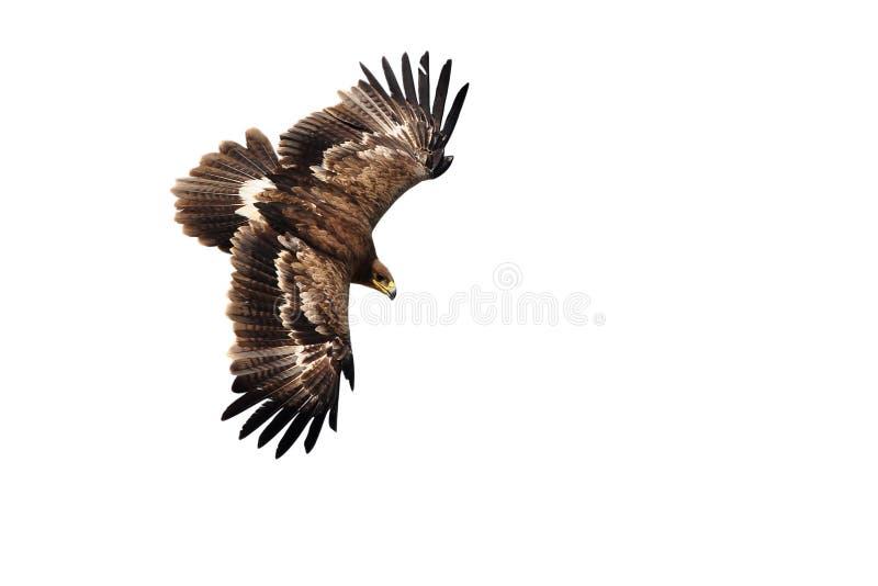 Имперский орел стоковое фото rf