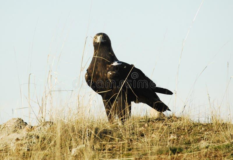 имперское орла иберийское стоковые изображения rf