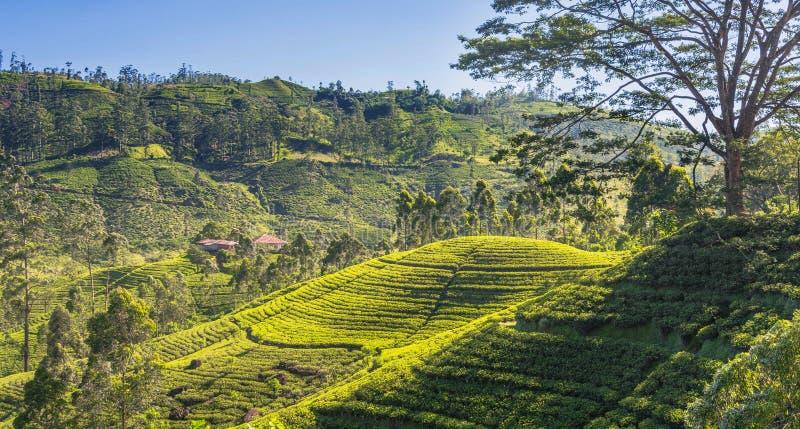 Имущество чая в поднимающей вверх стране стоковые изображения