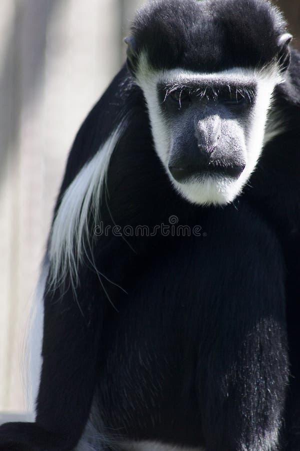 имя обезьяны kikuyyensis guereza colobus латинское стоковое фото